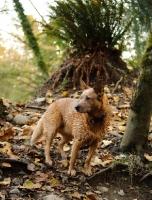 Picture of red Australian Cattle Dog near leafy vegetation