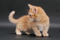 Picture of Red Mackerel Tabby Munchkin kitten, turning