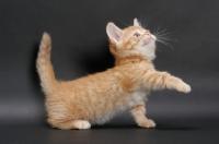 Picture of Red Mackerel Tabby Munchkin kitten, reaching