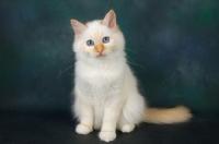 Picture of red point birman kitten