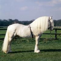 Picture of regency cream boy, albino welsh pony of cob type (section c) stallion