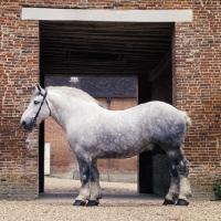 Picture of reveur, percheron stallion at haras du pin
