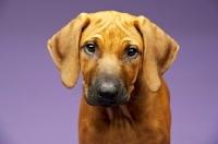 Picture of Rhodesian Ridgeback pup portrait