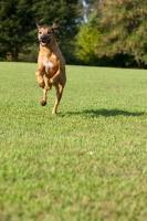 Picture of Rhodesian Ridgeback running on grass