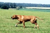 Picture of rhodesian ridgeback, trotting across field