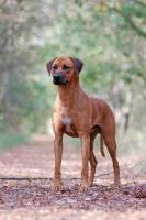 Picture of Rhodesian Ridgeback