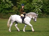 Picture of Riding Connemara Pony