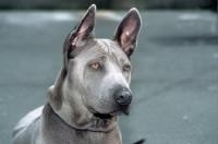 Picture of rioux von tor zum rheingau, thailand ridgeback, head study on grey