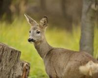 Picture of Roe Deer