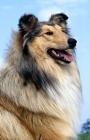 Picture of rough collie head portrait