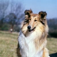 Picture of rough collie, portrait