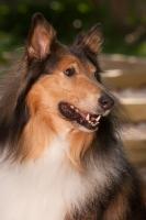 Picture of Rough Collie portrait