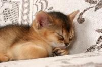 Picture of ruddy Abyssinian kitten sleeping