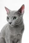 Picture of Russian Blue cat, portrait