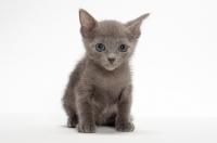 Picture of Russian Blue kitten in studio