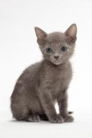 Picture of Russian Blue kitten sitting in studio