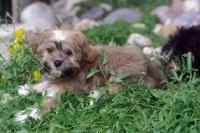 Picture of Russian Bolonka (aka Bolonka zwetna), puppy