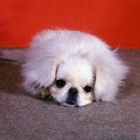 Picture of sad pekingese puppy