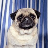 Picture of sad pug, head study