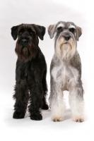 Picture of Salt & Pepper and black Schnauzer, (Australian Champion Jildabra Regal Ash (r) and Jildabra Supreme Reign (l))