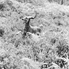 Picture of saluki bounding through heather