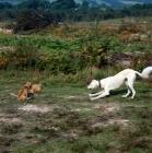 Picture of saluki geldara amrita and chalkyfield  norfolk terriers  playing