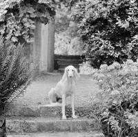 Picture of Saluki in garden