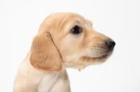 Picture of Saluki puppy portrait