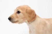 Picture of Saluki puppy profile