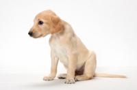 Picture of Saluki puppy