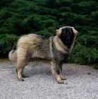Picture of sarplaninac,  yugoslavian sheepdog standing