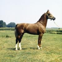 Picture of Satelliet or Theolog, Gelderland stallion in Holland