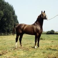 Picture of Satelliet or Theolog, proud Gelderland stallion in Holland
