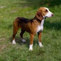 Picture of sauerland bracke, german hound standing on grass