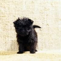 Picture of scapafield schwarz bandit, affenpinscher puppy