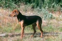 Picture of Schillerstovare, aka schiller hound