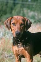 Picture of Schillerstovare, aka schiller hound, portrait