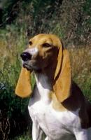 Picture of Schweizer Laufhund