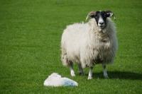 Picture of Scottish Blackface ewe and lamb