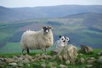 Picture of Scottish Blackface ewe and Scotch Mule lambs