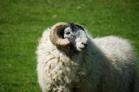 Picture of Scottish Blackface ram