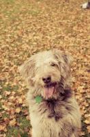 Picture of scruffy mutt in autumn