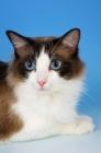 Picture of seal bi-coloured ragdoll cat portrait
