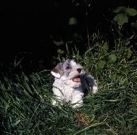 Picture of Sealyham terrier in grass