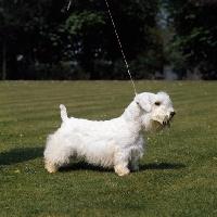 Picture of Sealyham Terrier