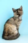 Picture of selkirk rex kitten