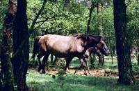 Picture of semi wild dulmen pony mare and foal in merfelder bruch