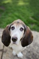 Picture of Senior Basset hound in park.
