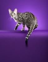 Picture of Serengeti cat turning