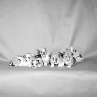 Picture of seven cardigan welsh corgi puppies
